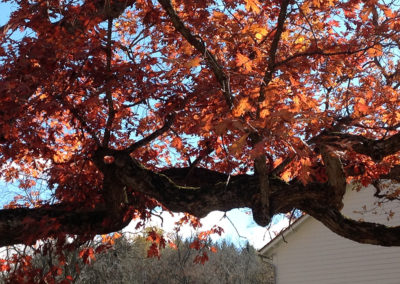 White Oak, part of a landscape design project by Landscape Architect Wendy P. Carroll